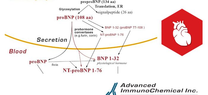 BNP and NT-proBNP: established diagnostic and prognostic biomarkers of heart failure.