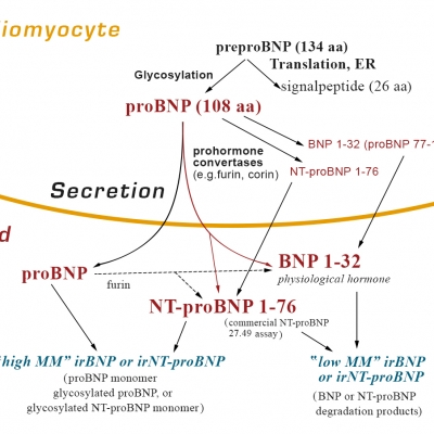 BNP and NT-proBNP: established diagnostic and prognostic biomarkers of heart failure.BNP and NT-proBNP: established diagnostic and prognostic biomarkers of heart failure.